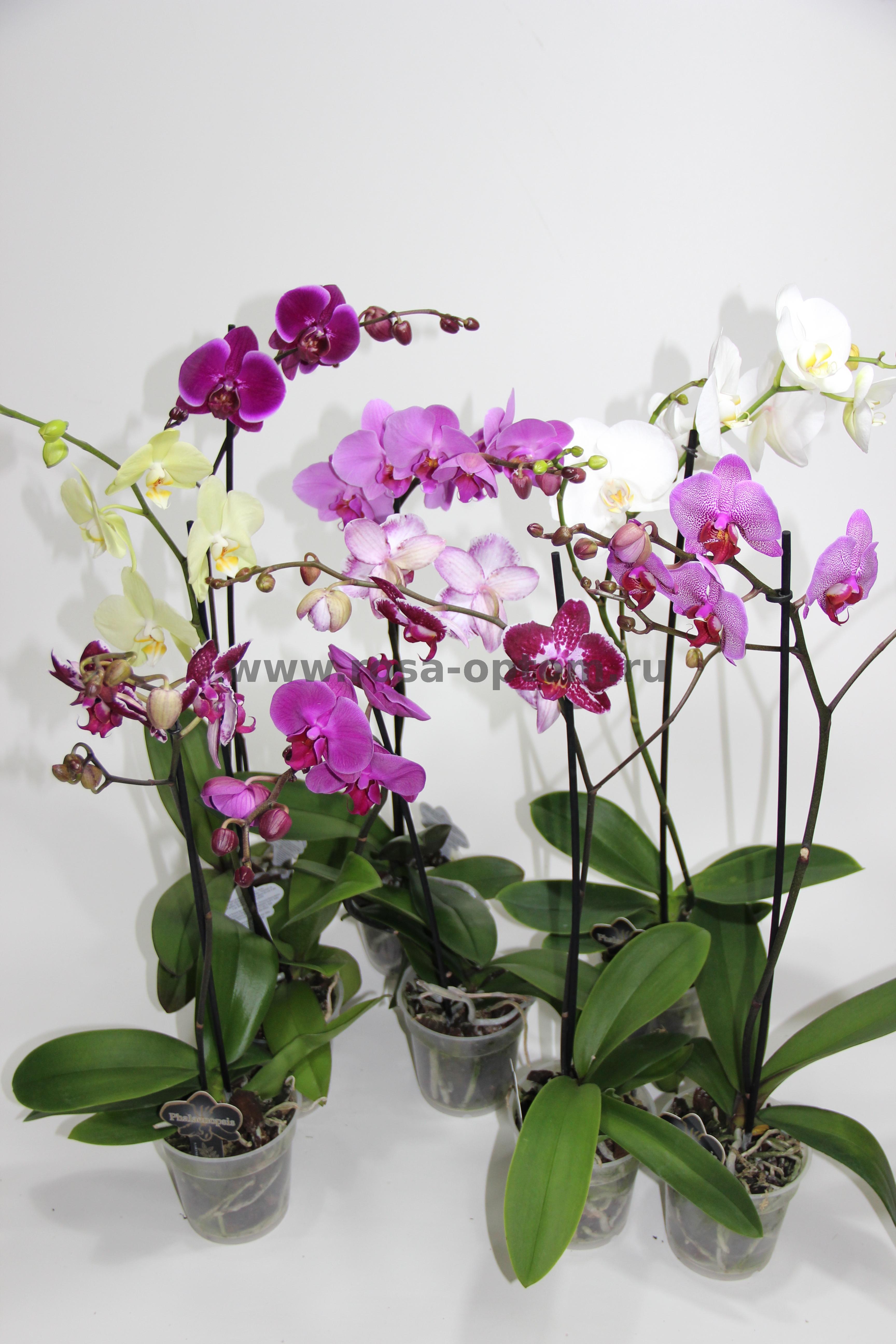 Уход за орхидеей фаленопсис в домашних условиях после